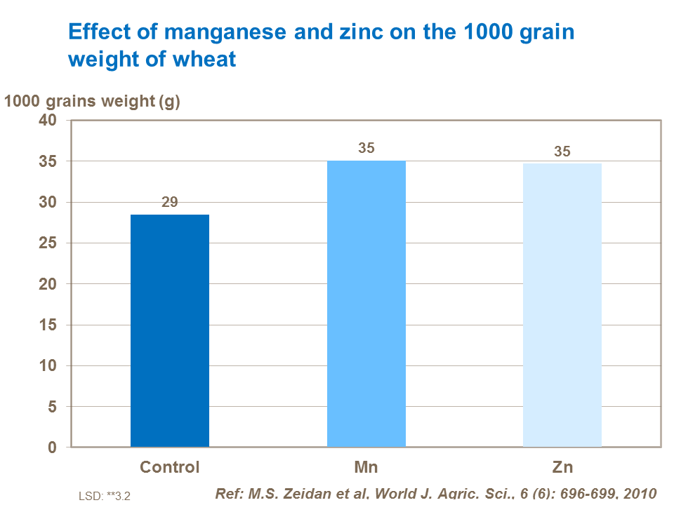 Effect of manganese and zinc on the 1000 grain weight of wheat