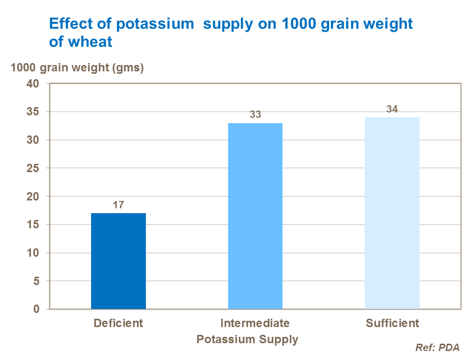 Effect of potassium  supply on 1000 grain weight of wheat