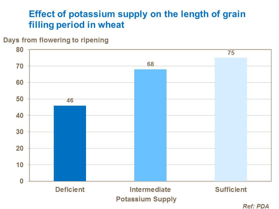 Effect of potassium supply on the length of grain filling period in wheat